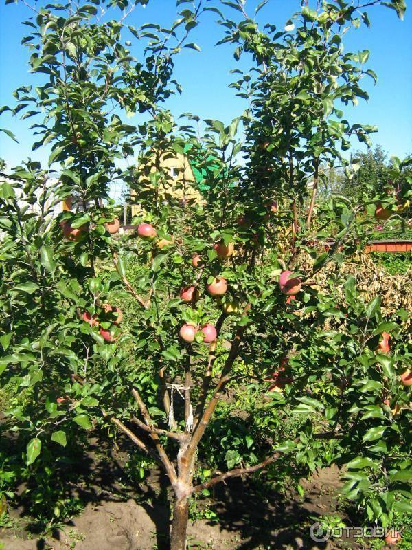 Яблоня беркутовское: особенности сорта и ухода