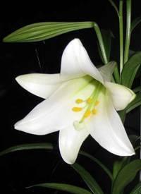 Комнатная лилия: выращивание в домашних условиях, почему не цветет