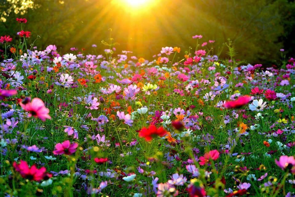 Полевые цветы – описание лютика, ириса, колокольчика, тюльпана, гвоздики, клевера, люпина и других цветов