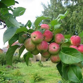 Яблоня грушовка зимняя: описание и фото, особенности выращивания и основные характеристики