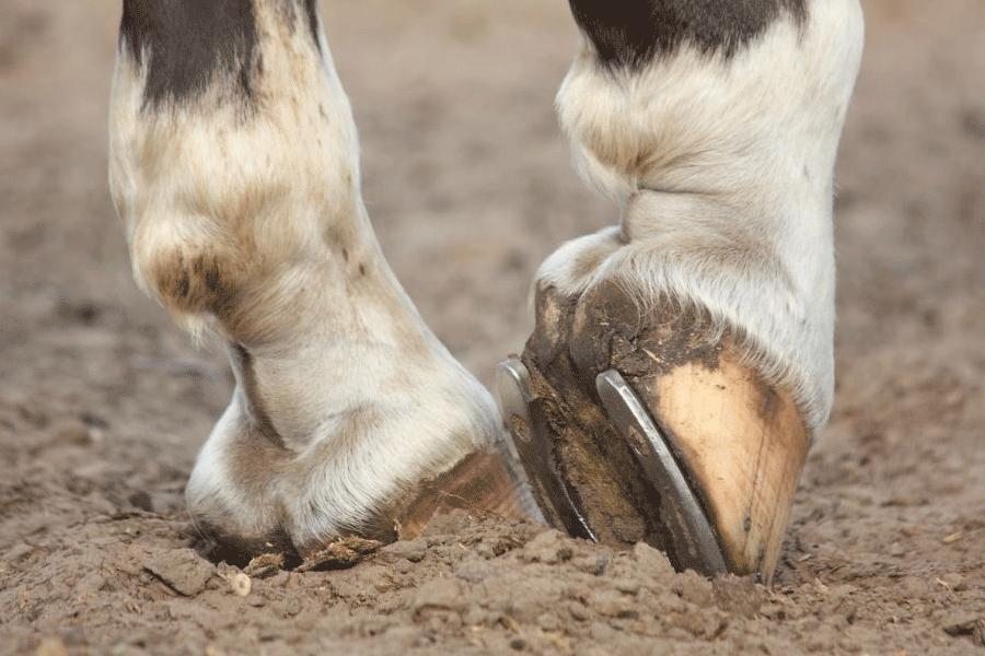 Подковывание лошадей: история возникновения, цель процесса и его особенности