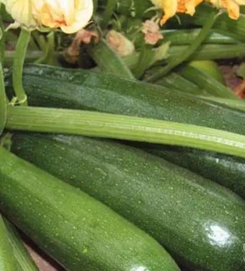 Все о сорте кабачков Скворушка: описание, как выглядит растение, выращивание