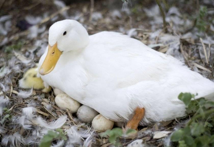 Когда начинают нестись утки в домашних условиях, в каком возрасте?