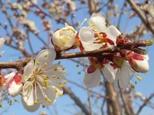 Как лечить болезни абрикосовых деревьев и защитить сад от вредителей