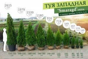 Описание и выращивание туи западной смарагд - как правильно посадить, уход, полив и обрезка