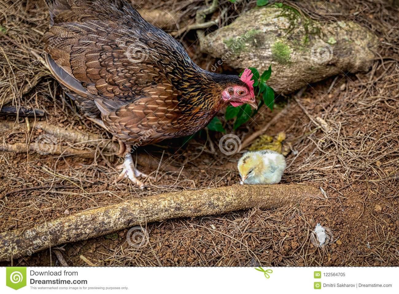 Банкивская джунглевая курица