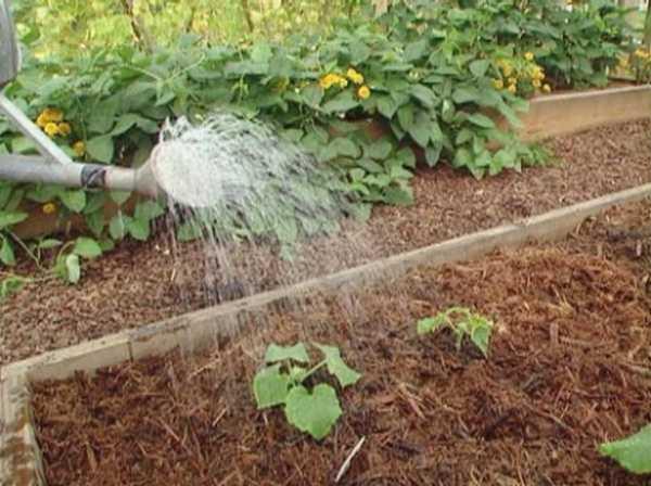 Как поливать огурцы в открытом грунте и теплице