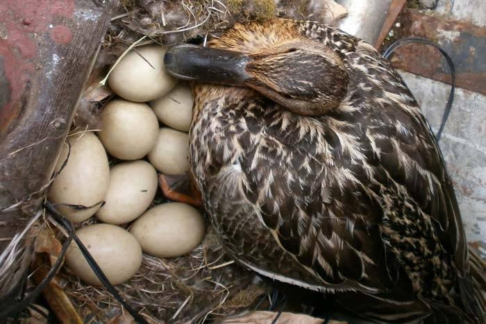 Будут ли оплодотворенными яйца индоутки, если купить их без селезня?
