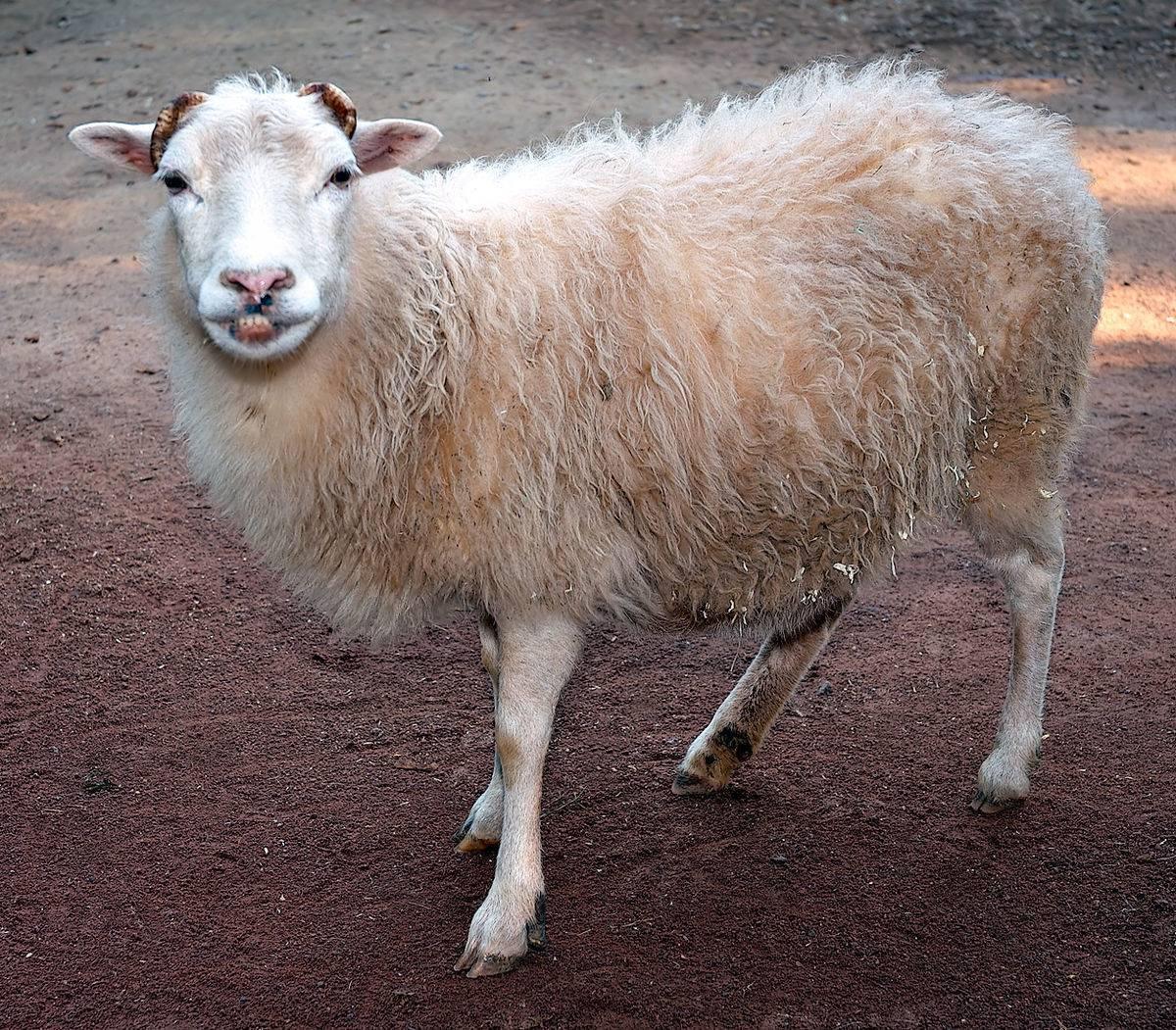 Анатомия баранов – особенности строения овец 2020