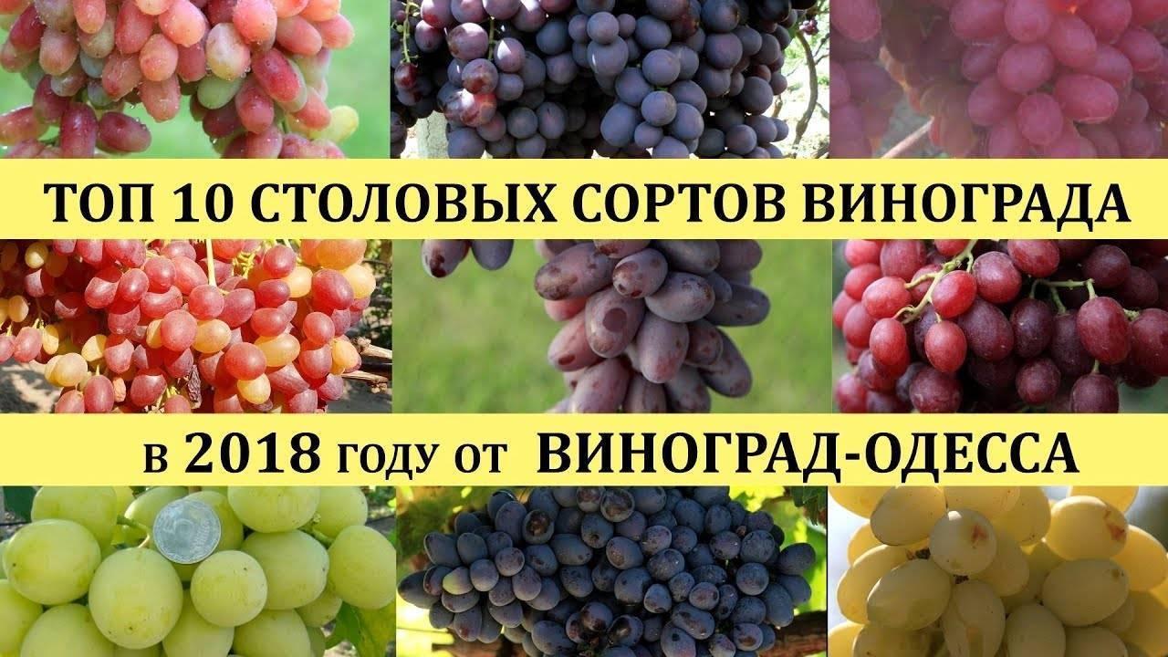 Самый лучший виноград: элитные, международные, самые вкусные столовые сорта