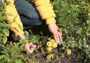 Айва японская: выращивание, уход, размножение