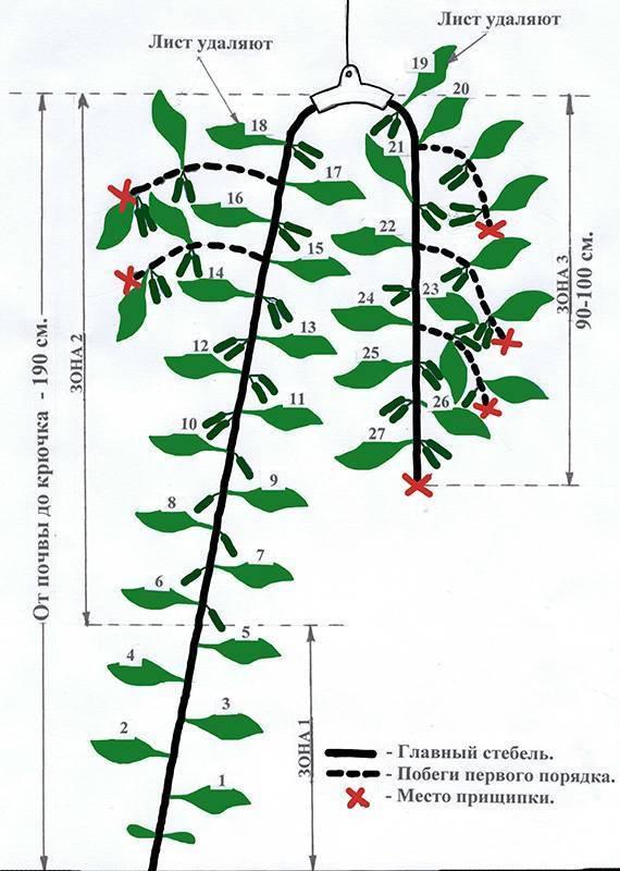 Формирование огурцов в теплице: схема и инструкция