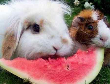 Можно ли кроликам арбузные корки: особенности питания и рекомендации