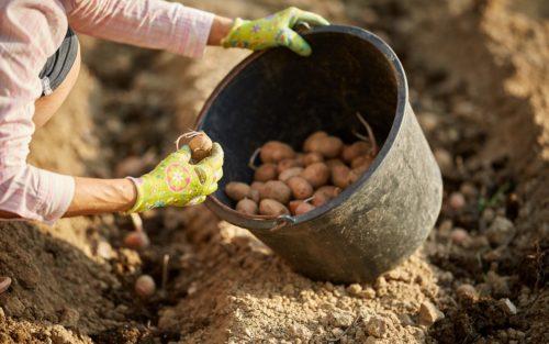 Когда сажать картошку в 2018 году по лунному календарю