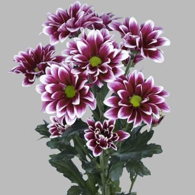 Кустовая хризантема – как правильно ухаживать, поливать, удобрять и размножать растения?