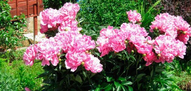 Как и когда пересаживать пионы после цветения — инструкция правильного ухода за пионами!