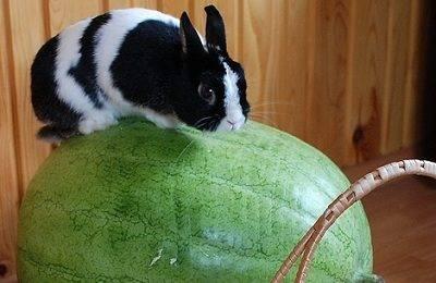 Можно ли давать кроликам арбузные корки или мякоть?