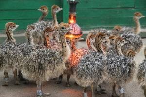 Самый большой страус: интересные факты и особенности разведения