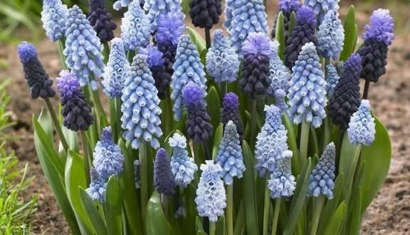 Главное о выращивании садовых цветов мускари