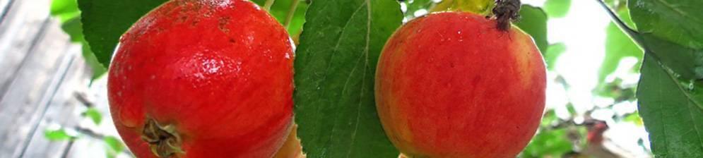 Яблоня ранетка