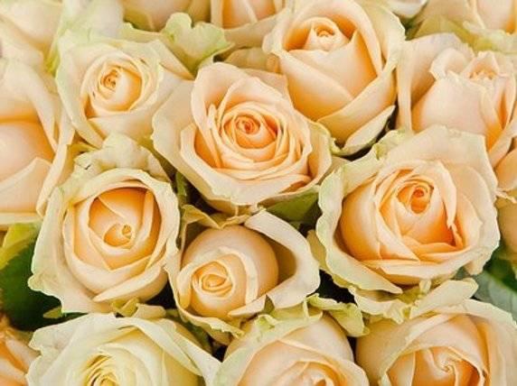 Роза аваланж пич фото и описание отзывы
