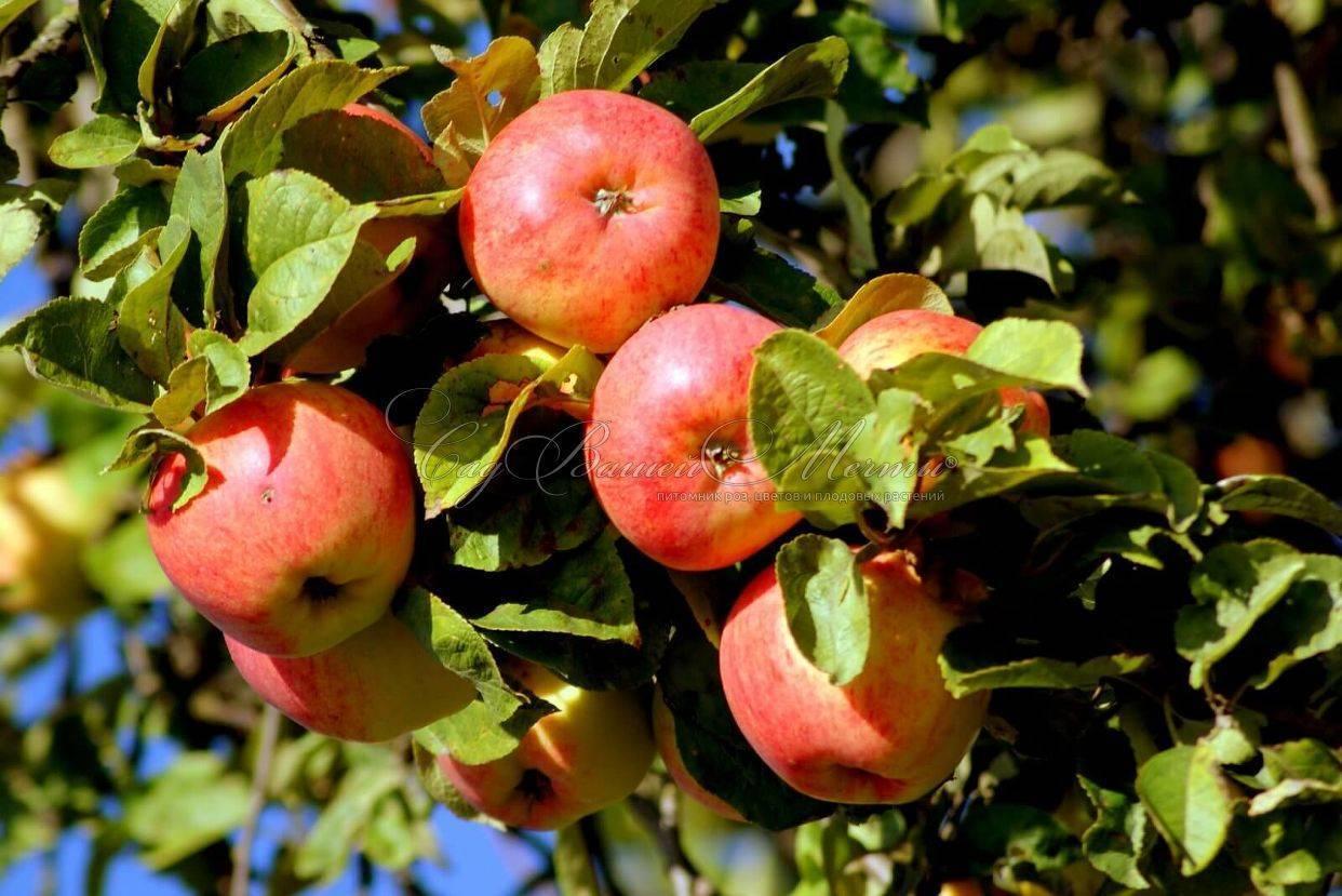 Яблоня мельба — канадский сорт с австралийским привкусом