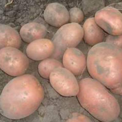Знакомимся с сортом картофеля беллароза
