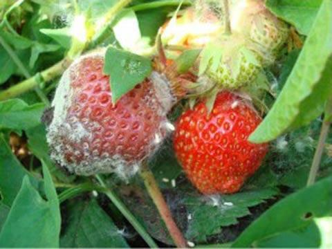 Способы борьбы и лечения серой гнили на овощах, фруктах и цветах