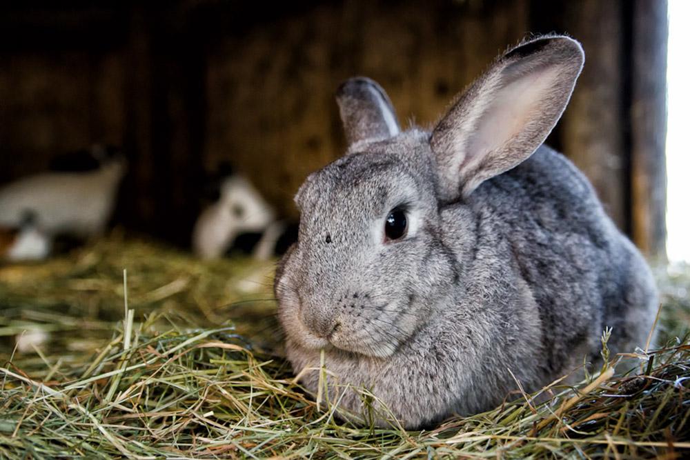 Как убивать кроликов: как правильно забить и разделать в домашних условиях.