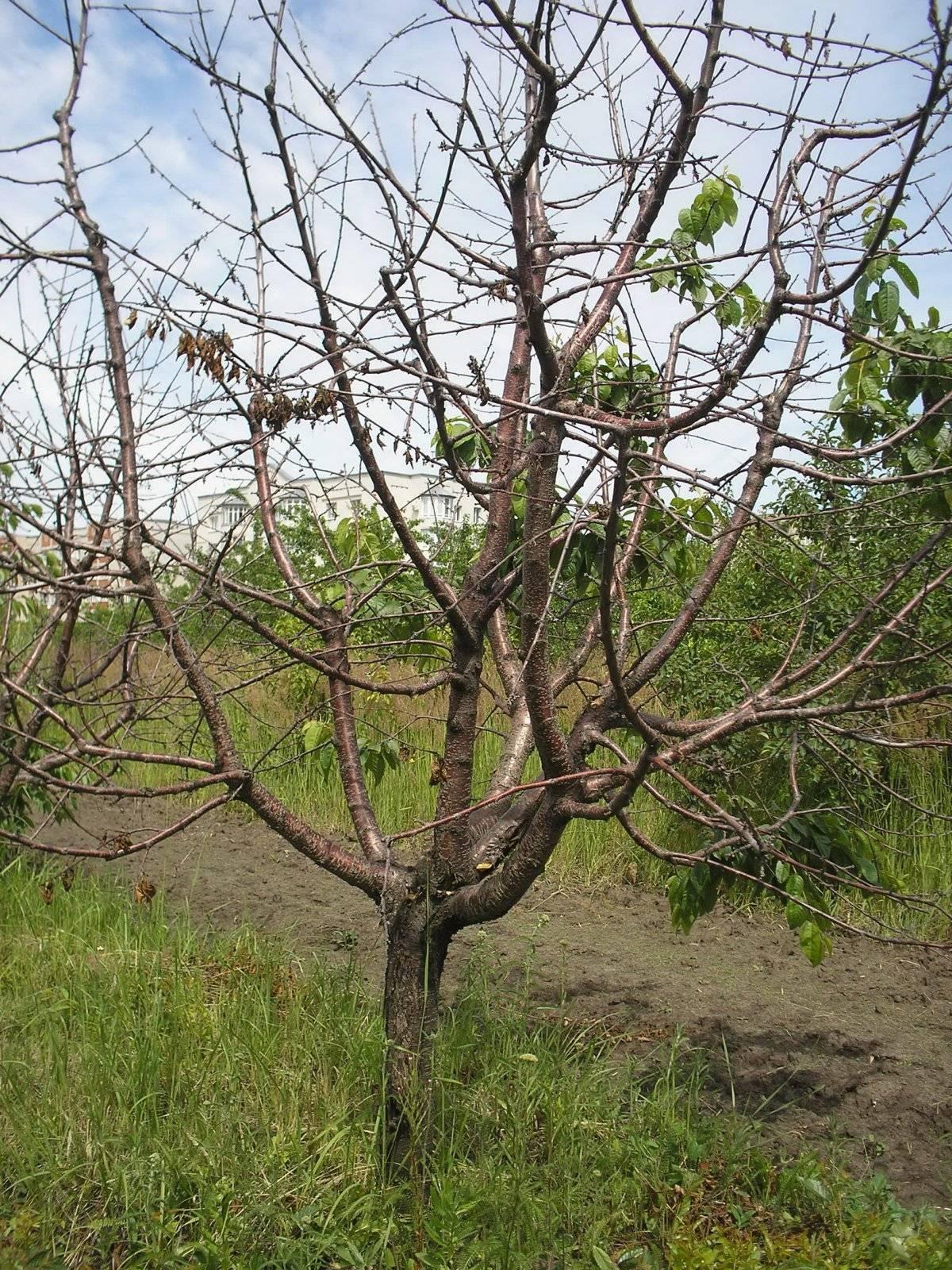 Сонник дерево вишня. к чему снится дерево вишня видеть во сне - сонник дома солнца