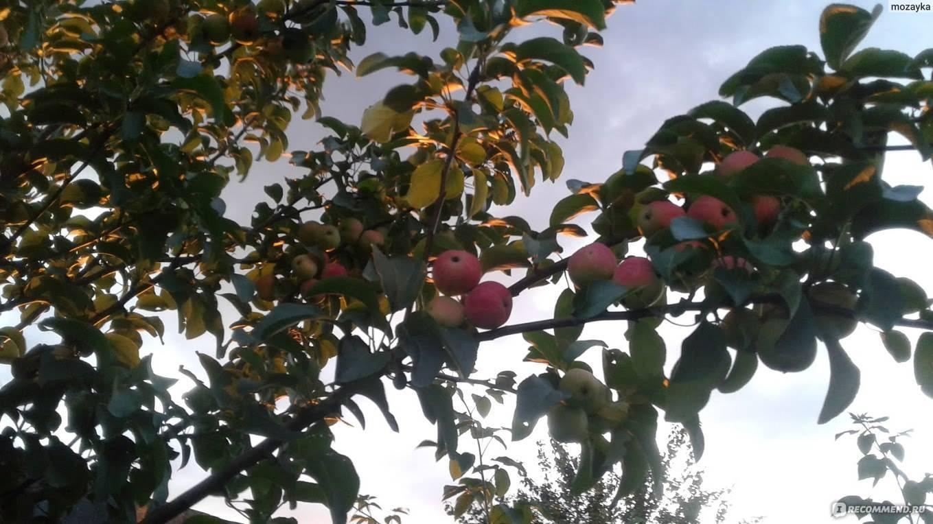 Подробная характеристика и особенности выращивания яблони первоуральская