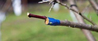 Как правильно привить яблоню – все о способах, сроках и последующем уходе