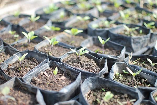 Как вырастить рассаду баклажанов – пошаговый мастер-класс с фото