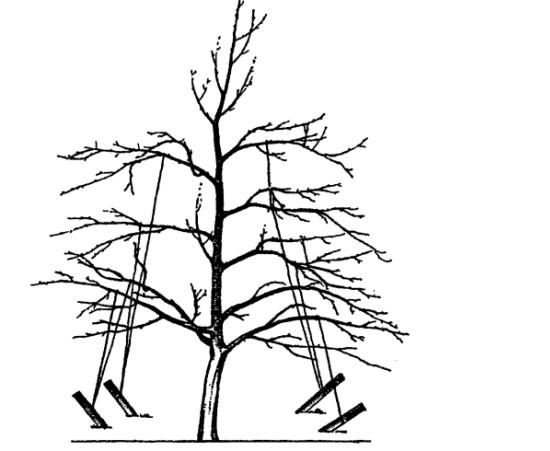 Почему яблоня не плодоносит? 4 причины - и обрезка яблони летом. плодоношение яблонь - как ускорить процесс?