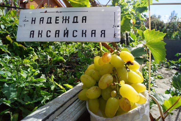 Сорт винограда надежда аксайская