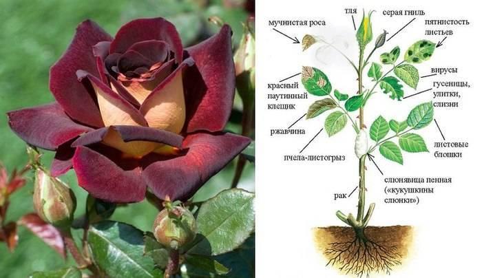 Болезни роз - самые эффективные методы профилактики и лечения