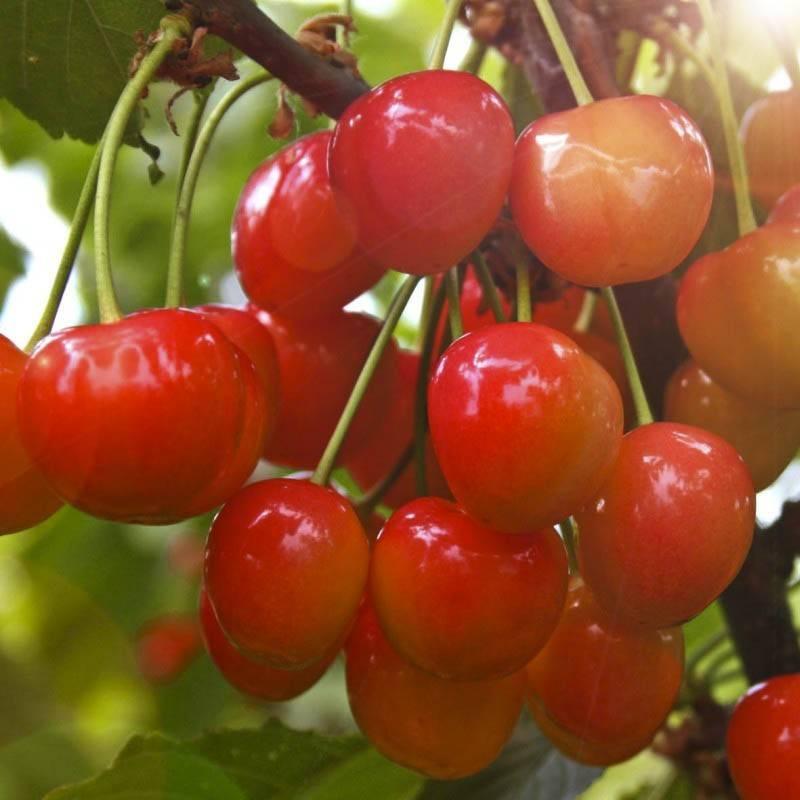 Черешни. сорта и выращивание