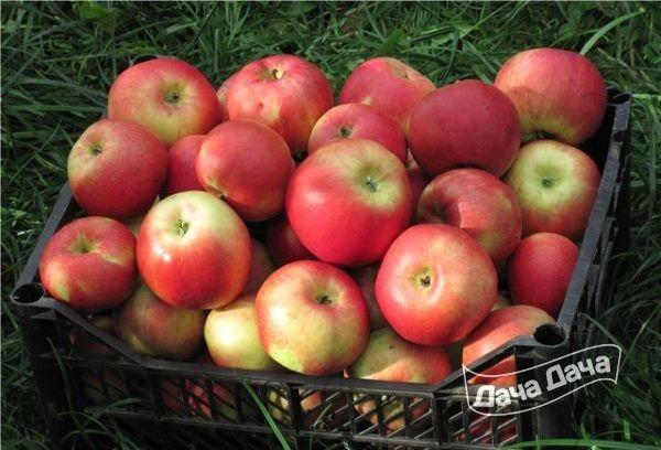 Общая информация о яблонях сорта юный натуралист