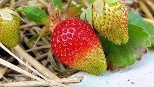 Обработка клубники перекисью водорода весной во время цветения - руководство