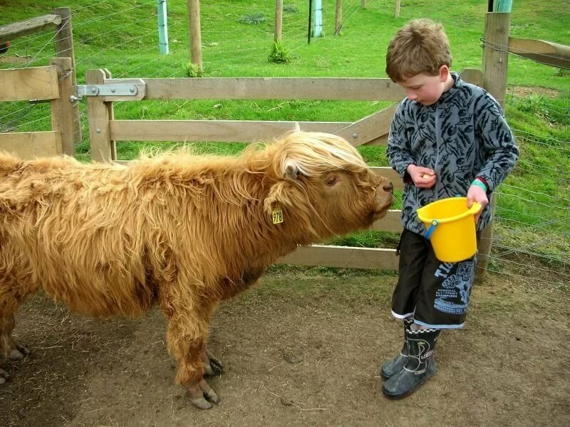 Разведение мини-коров для мини-фермы или продажи