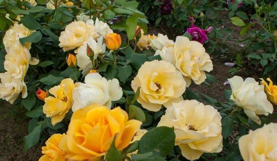 Парковые. парковые роза текила описание