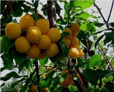 Китайская слива маньчжурская красавица – сладкое украшение садового участка