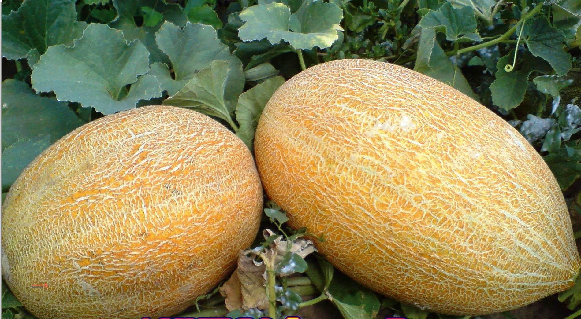 Выращивание арбуза в тепличных условиях