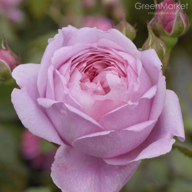 О розе алан титчмарш (alan titchmarsh): характеристики сорта розы остина