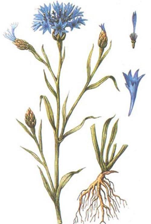 Василек скабиозовый — полезные свойства, описание