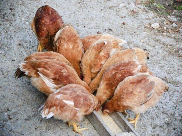 Комбикорм для кур: разновидности, составы, норма потребления