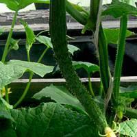 Правильное выращивание огурца сорта изумрудный поток f1