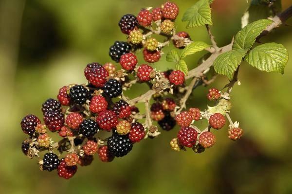 Ежевика на страже здоровья: польза и вред ягоды