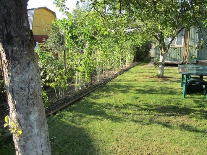 Что посадить около малины. что можно сажать рядом с малиной