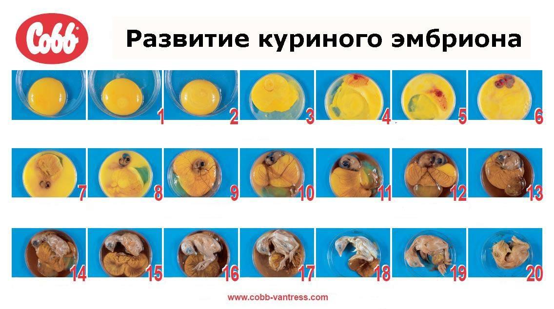 Инкубация куриных яиц в домашних условиях: советы, как сделать устройство самостоятельно, правила поддержания температуры и режимов